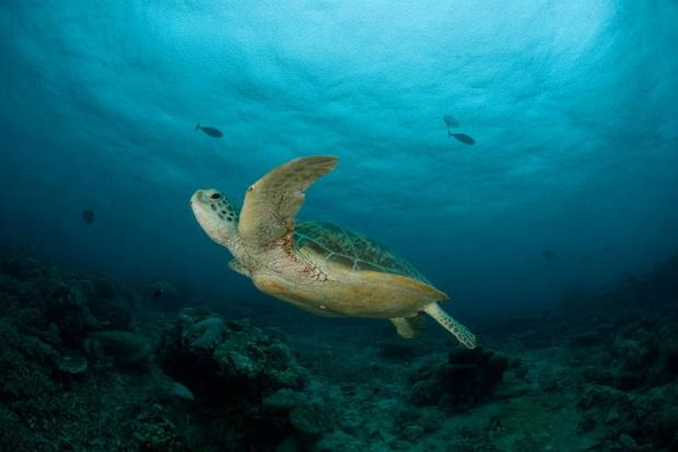 绿海龟(摄於马来西亚诗巴丹岛)