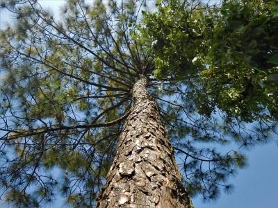 大樹的願望 高級